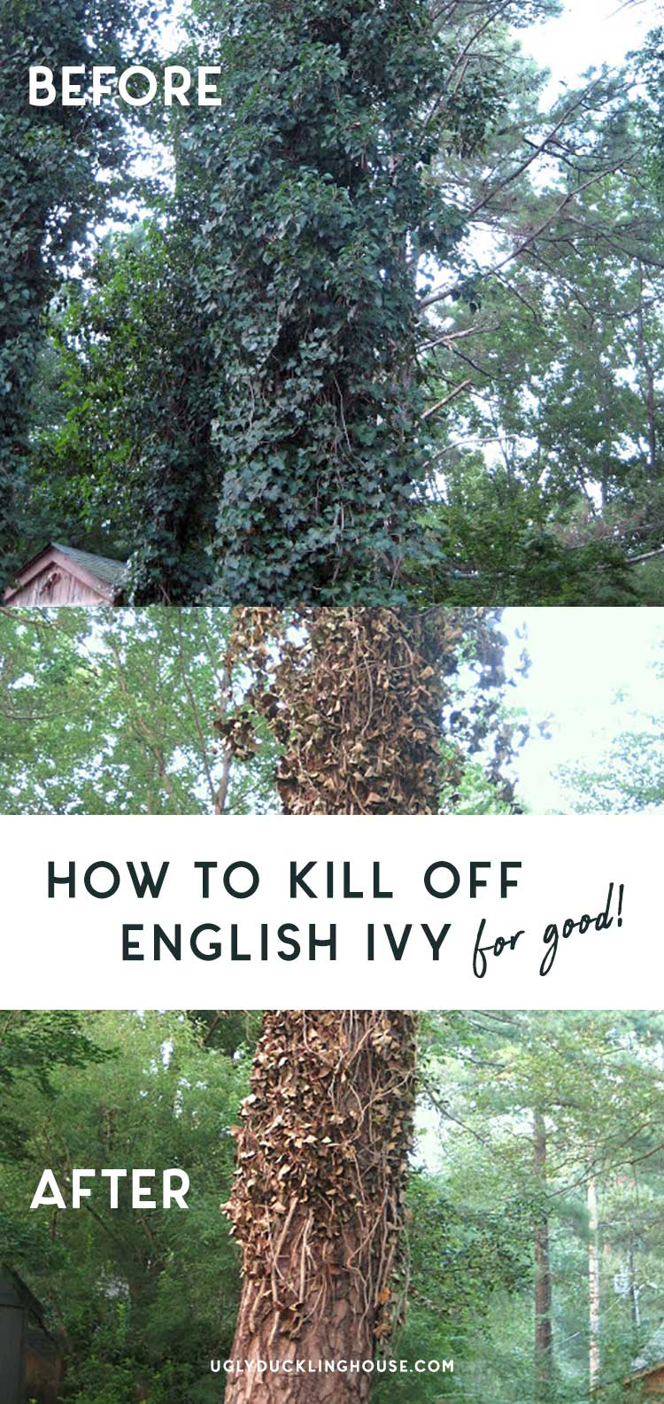 how to kill off aggressive and invasive english ivy on trees and overgrowth for good