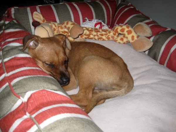 charlie - sleeping puppy