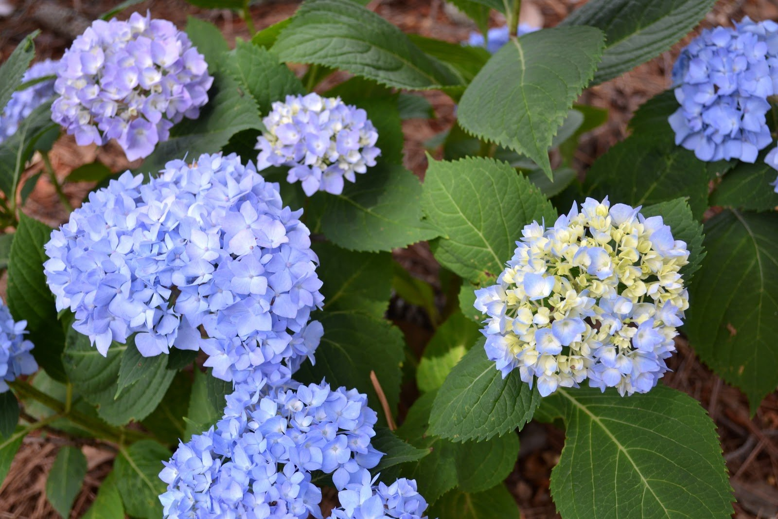 how to get my hydrangea to grow