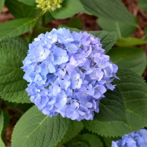 4 Easy Tips for Growing Hydrangeas