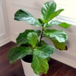 fiddle leaf fig dining room