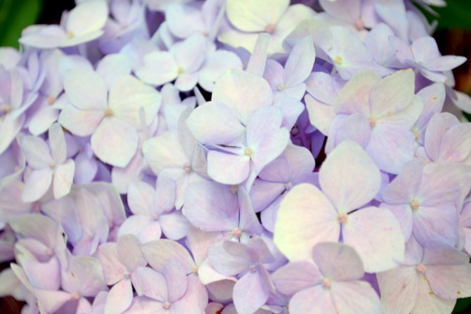 lilac color hydrangeas