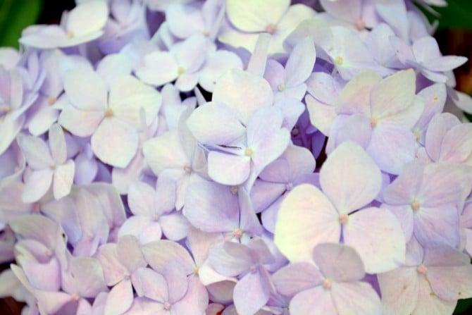 lilac color hydrangeas