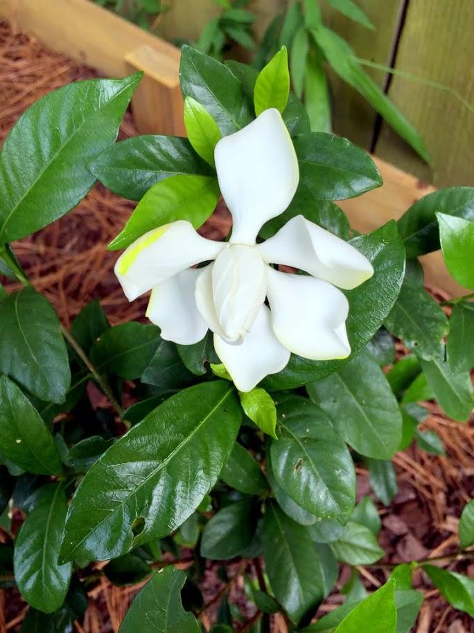 bloomed gardenias