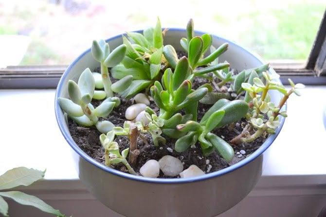Kitchen Succulents