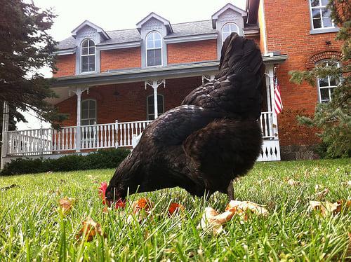 nugget black feather farm