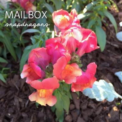 Snapdragons at the Mailbox