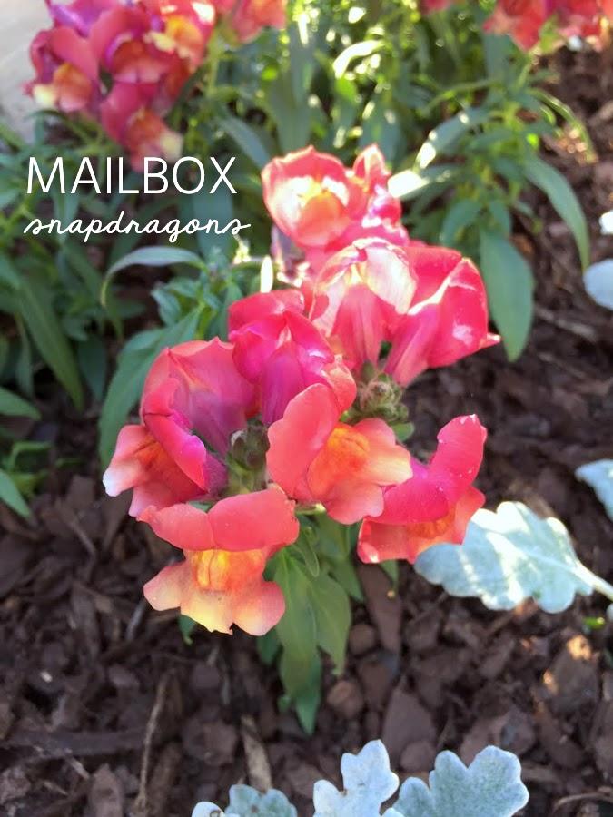 Snapdragons at the Mailbox
