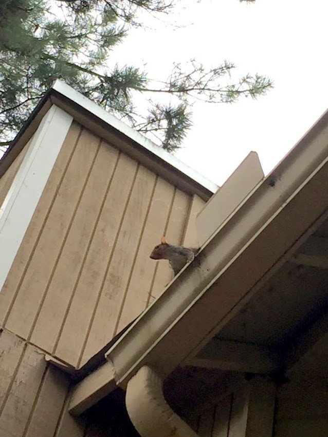 how to get rid of attic squirrels