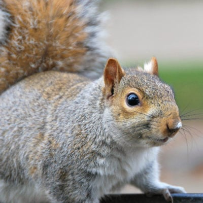 The Crazy Attic Squirrel Saga, Part 2