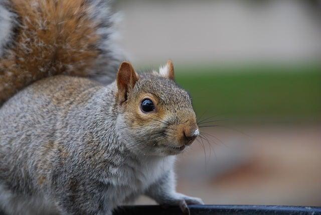 pudgy squirrel