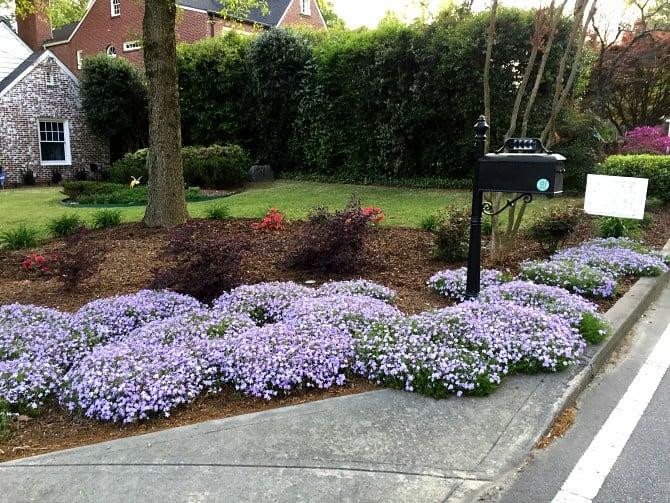 phlox garden bed