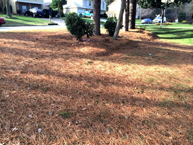 pine straw front lawn