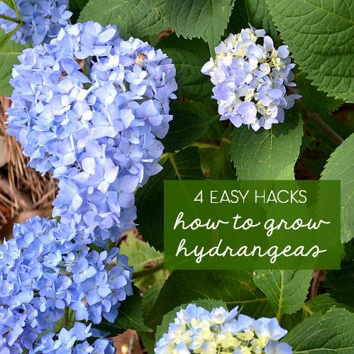 4 easy tips to grow hydrangeas