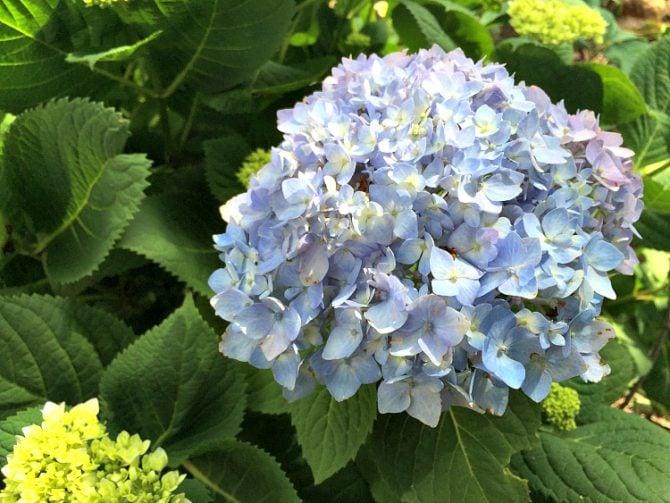 blue mophead hydrangae
