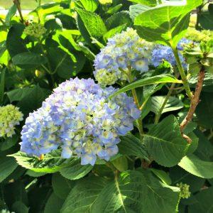 How to Get Blue Hydrangeas