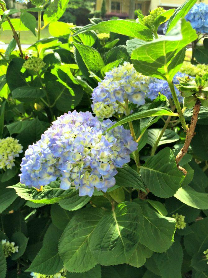 blue mophead hydrangeas