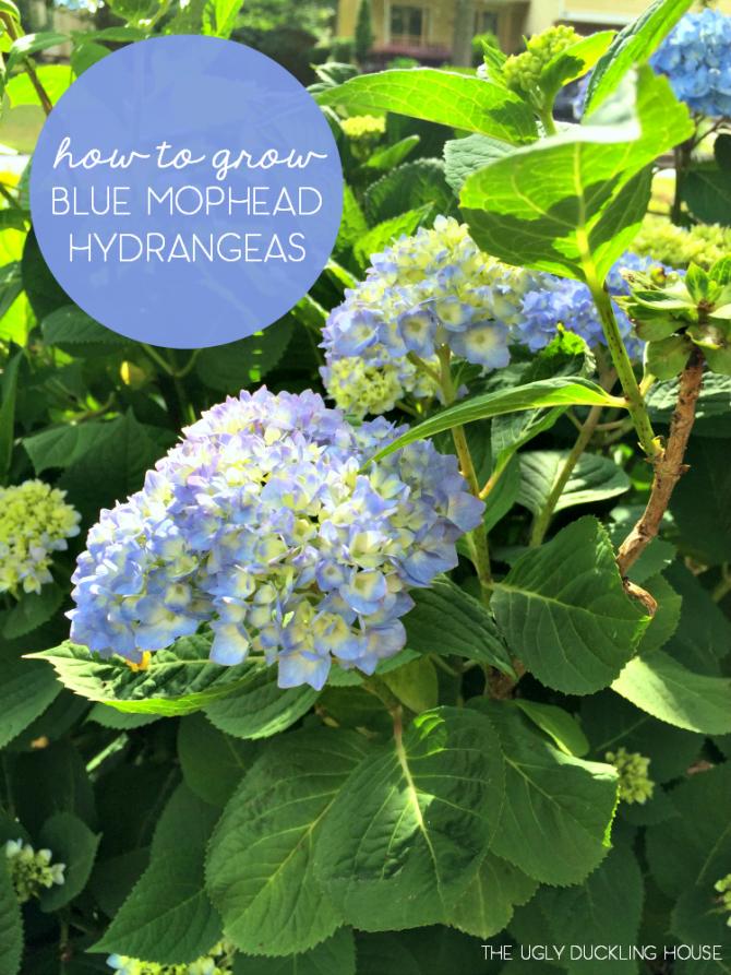 how to grow blue hydrangeas