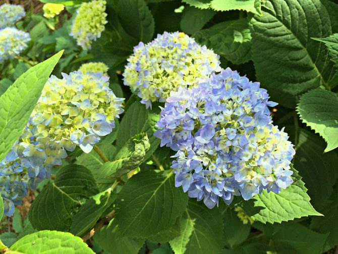 yellow and blue hydrangea blooms