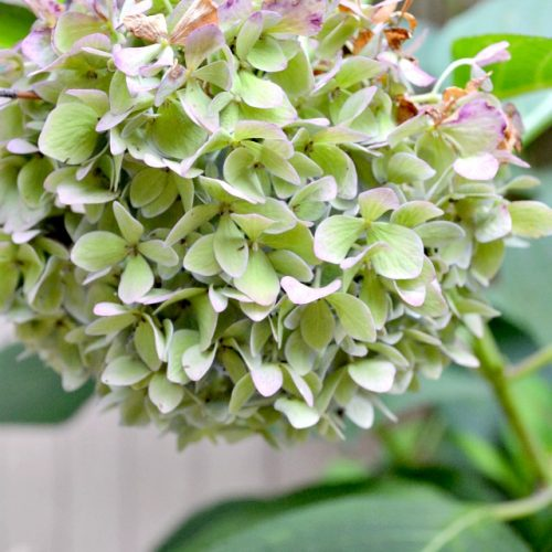 Hydrangeas Changing Color
