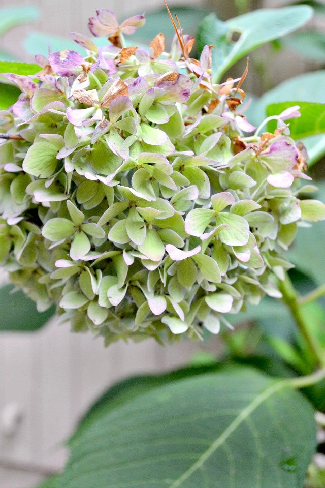 how to prepare bloom struck hydrangeas for winter