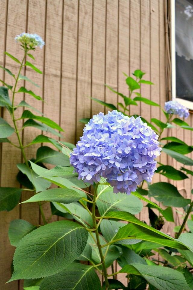 hydrangea flowers growing like crazy