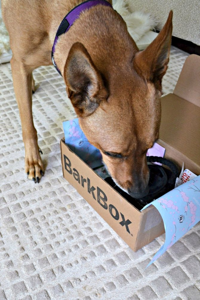 Charlie sniffing the new Barkbox