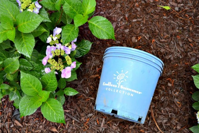 endless summer hydrangea corner garden