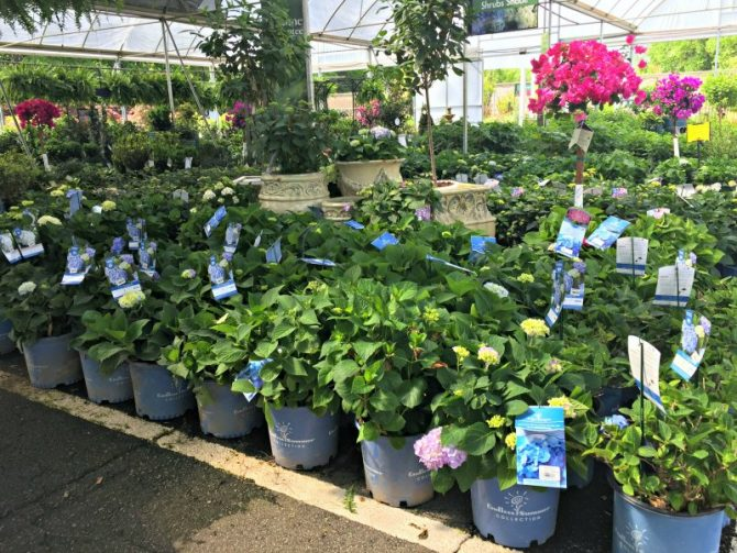 endless summer hydrangeas - shopping at a local nursery