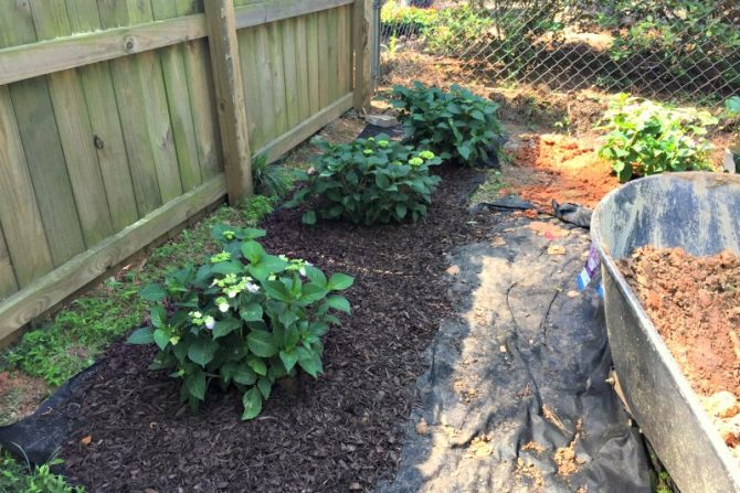 hydrangeas being planted