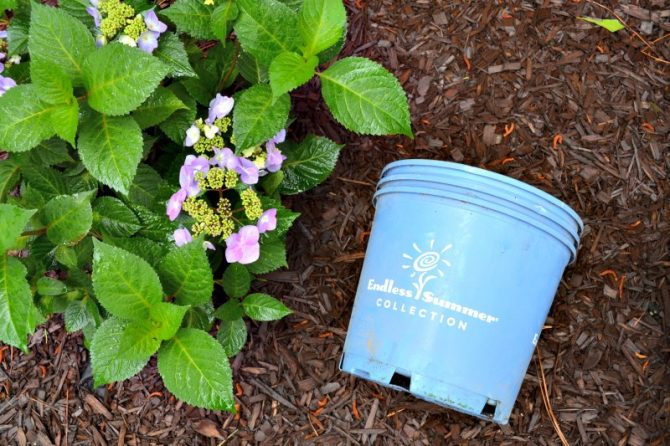 pots of endless summer bloomstruck hydrangeas