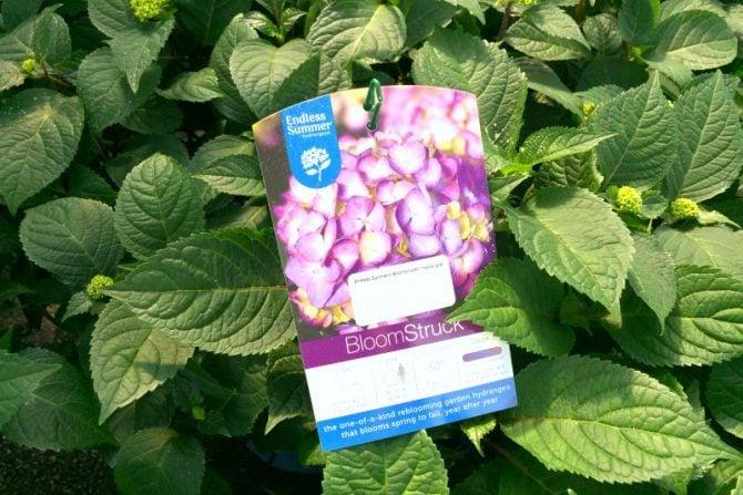 endless summer bloomstruck hydrangeas label