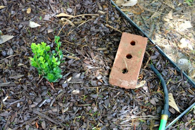 shrubs with new growth and soaker hose