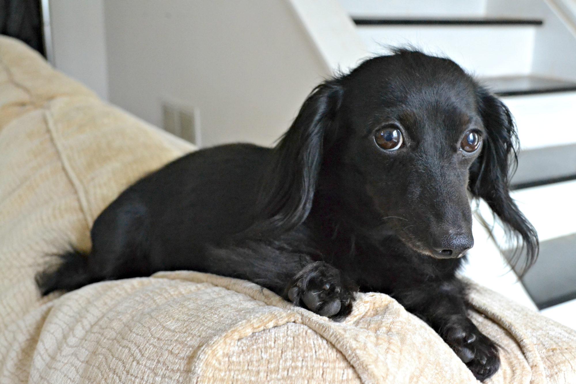 mini dachshund - Stella