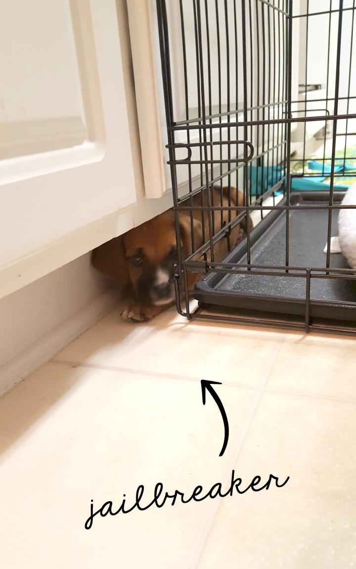 jailbreaker puppy