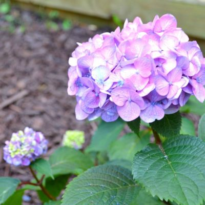 Corner Garden Update: Summer Hydrangeas In Bloom