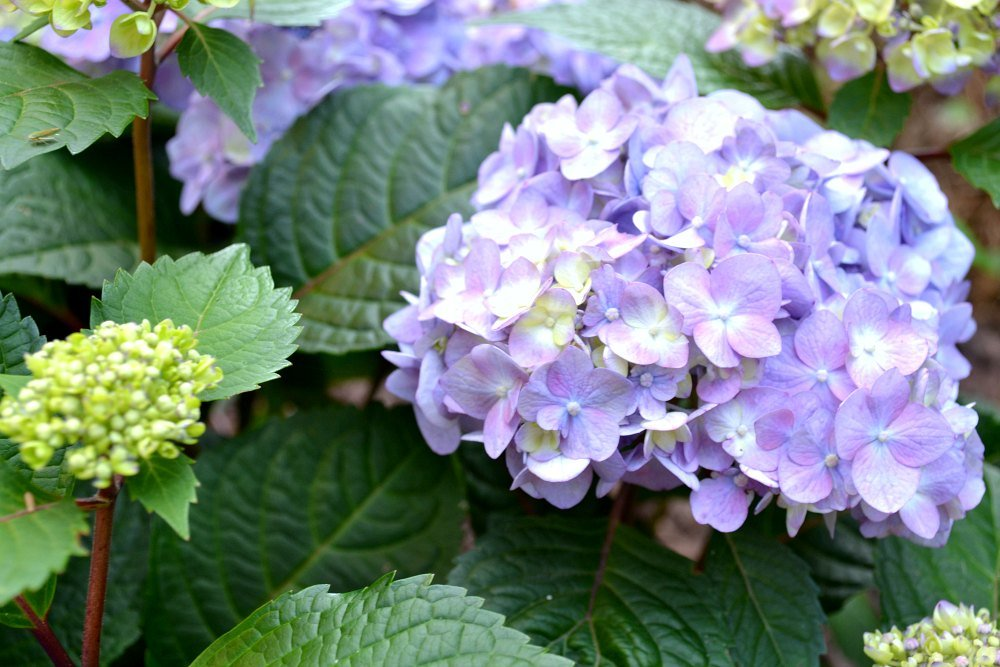 bloomstruck hydrangea closeup of lilac color variation with red stems