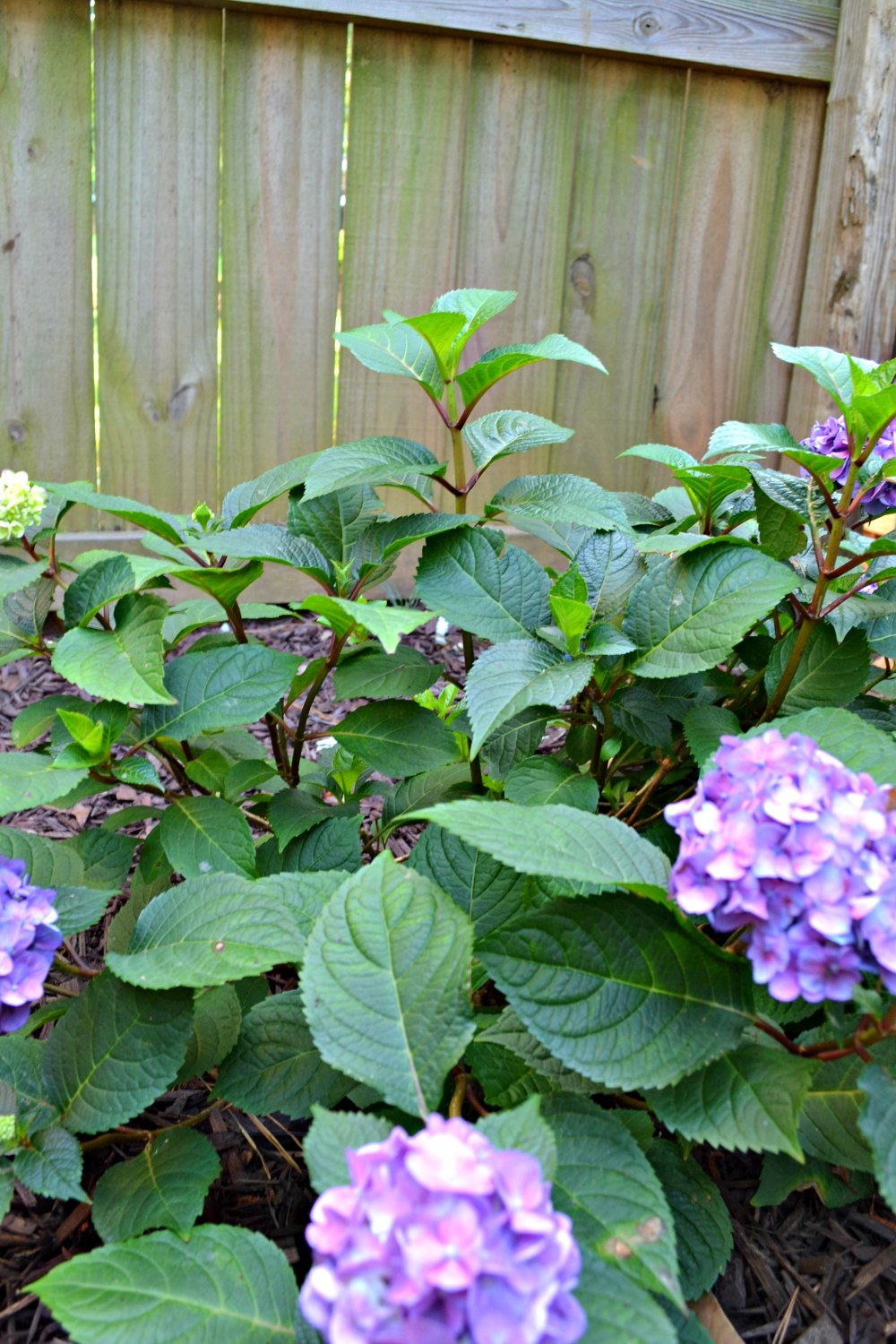 hydrangea blooms - purple mophead blooms with red stems