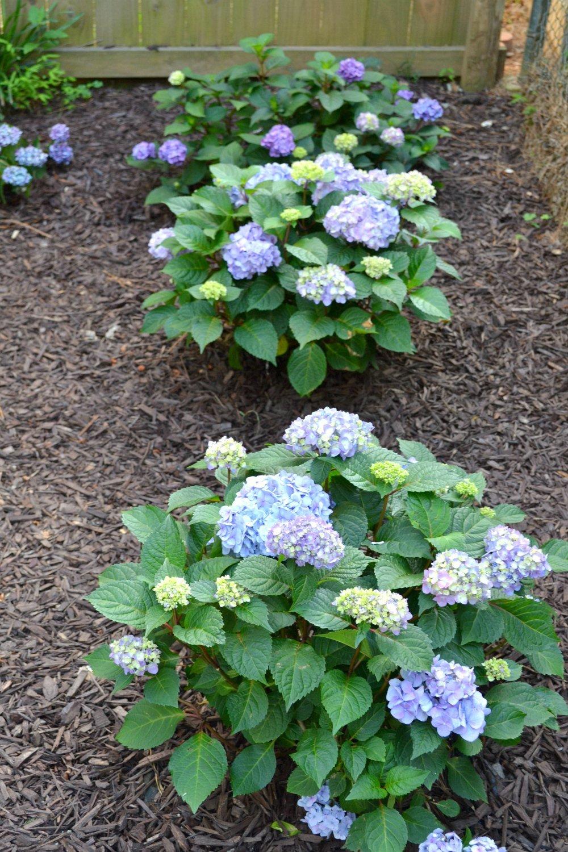 hydrangeas blooming healthy in new corner garden