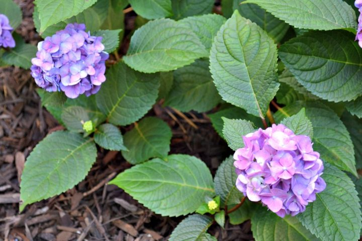 new hydrangeas in the garden with color variation among blooms