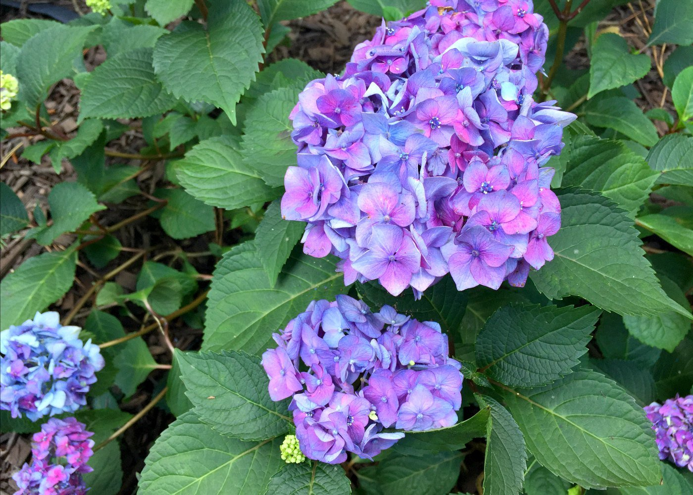 vibrant colors from Bloomstruck hydrangeas