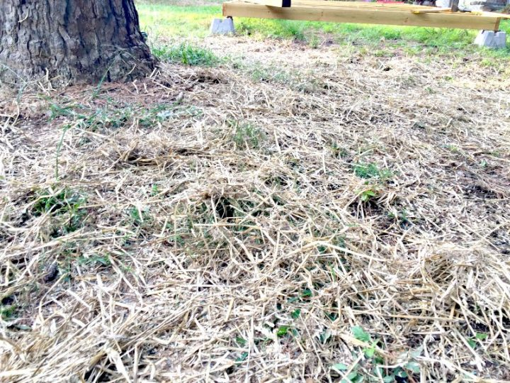 A layer of straw over the grass seed helps protect the seedlings from moisture loss, weather, and birds.
