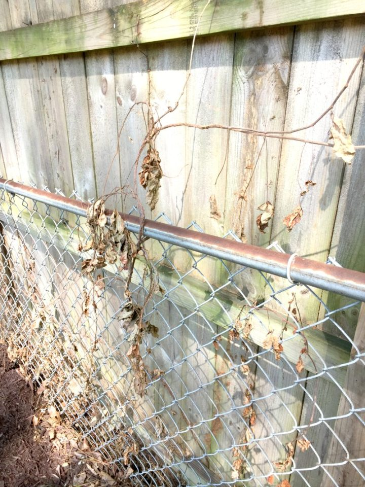 chain link fence with dead ivy