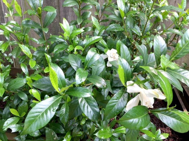 gardenias growing and thriving 2017