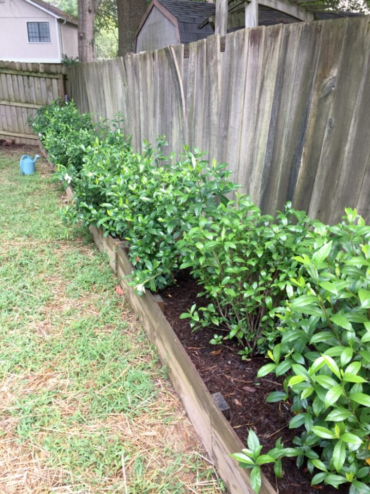 gardenias growing - garden beds 2017