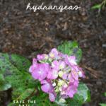 overwintering hydrangeas