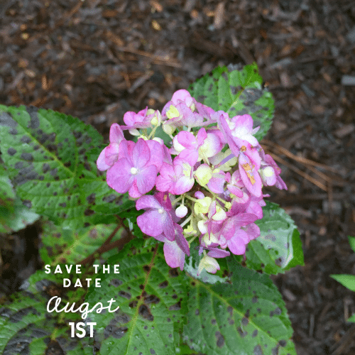 An Important Date for Overwintering Hydrangeas (Corner Garden Update + Giveaway)