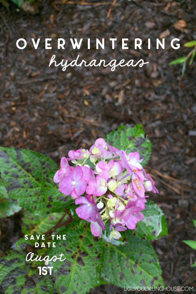 Once established, overwintering hydrangeas is incredibly easy — just remember these few important tips, and you'll have beautiful blooms in the spring!