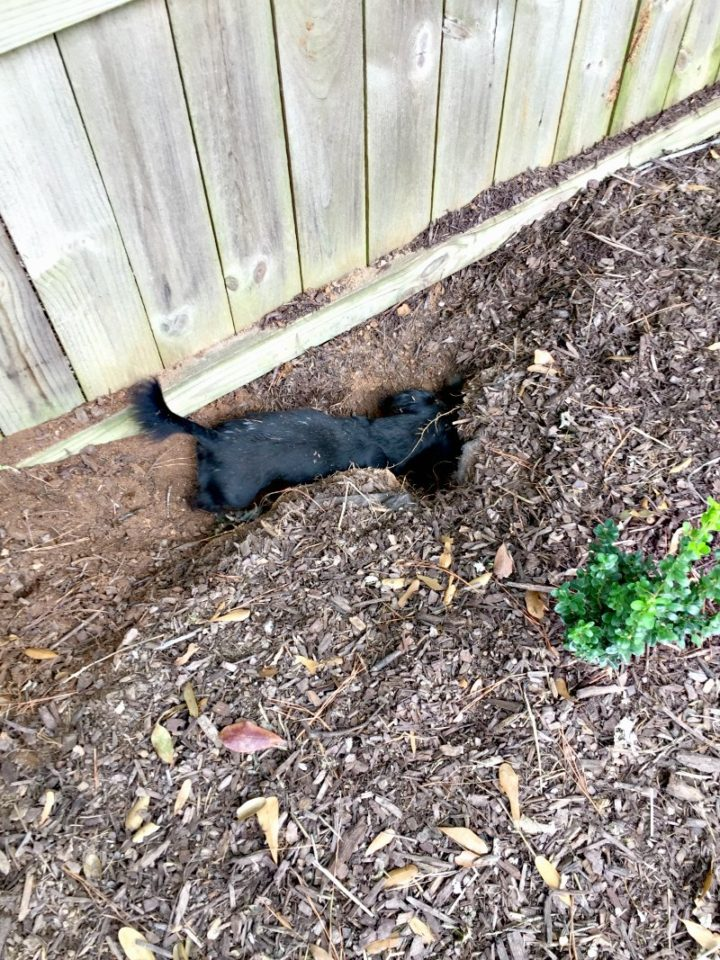 Stella digging in hedge line