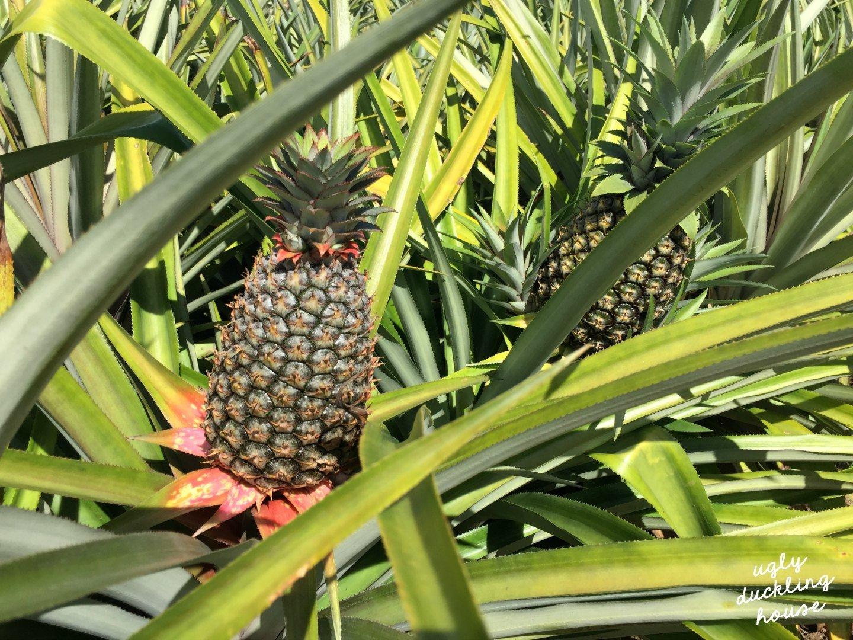 organic pineapple farm - St Lucia